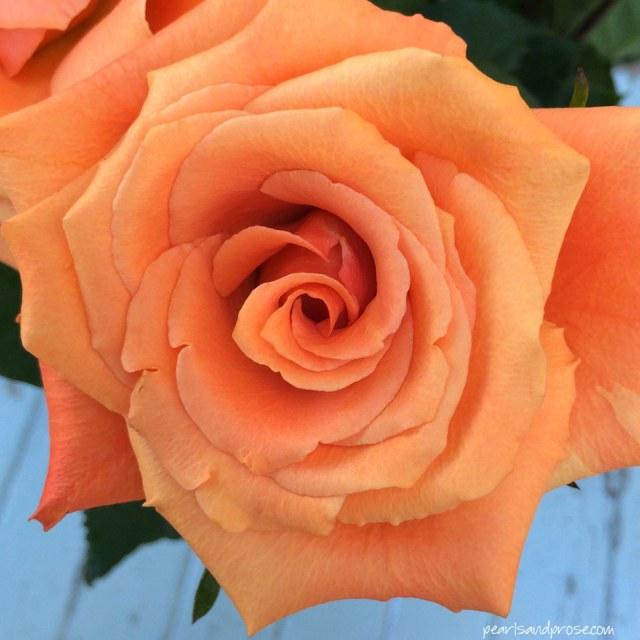 apricot_rose_web