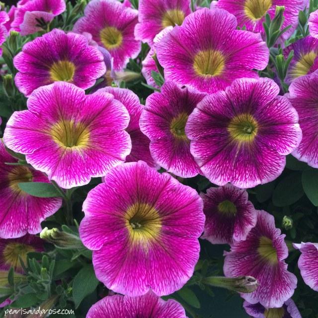 talkneetna_dk_pink_petunias_web